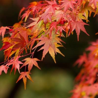 紅葉するイロハモミジの写真