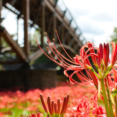 橋と曼珠沙華の写真