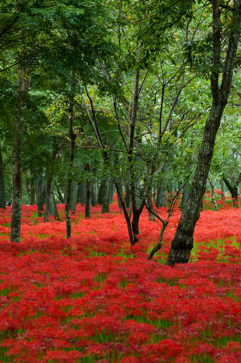 「巾着田に咲く曼珠沙華巾着田に咲く曼珠沙華」のフリー写真素材を拡大