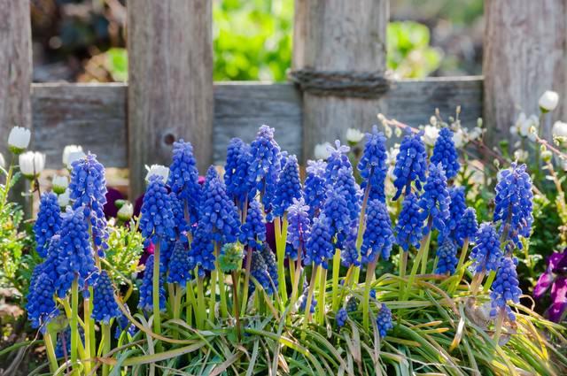 ムスカリと春の写真