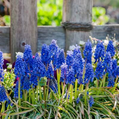 「ムスカリと春」の写真素材