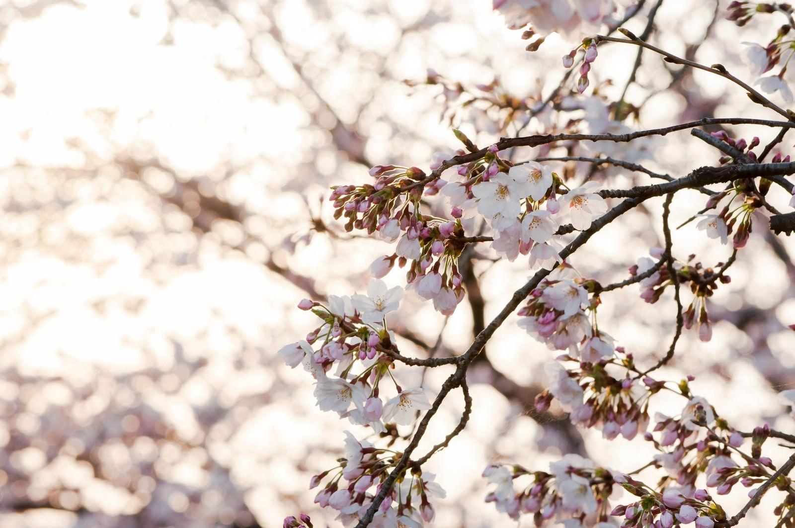 「朝日に照る桜朝日に照る桜」のフリー写真素材を拡大