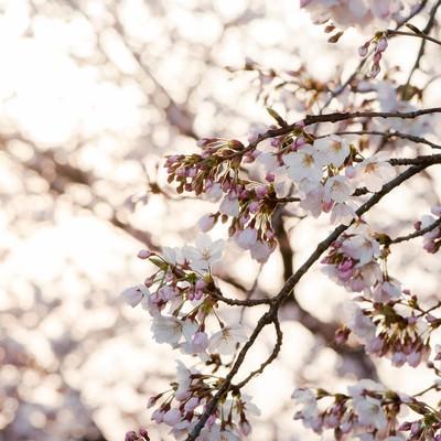 朝日に照る桜の写真