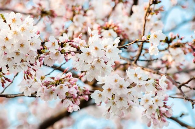 花ひらく(桜)の写真
