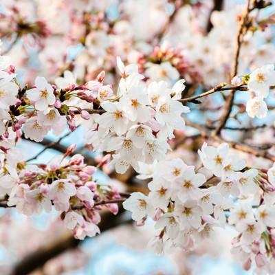「花ひらく(桜)」の写真素材