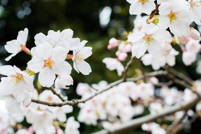 日陰に咲く桜の写真
