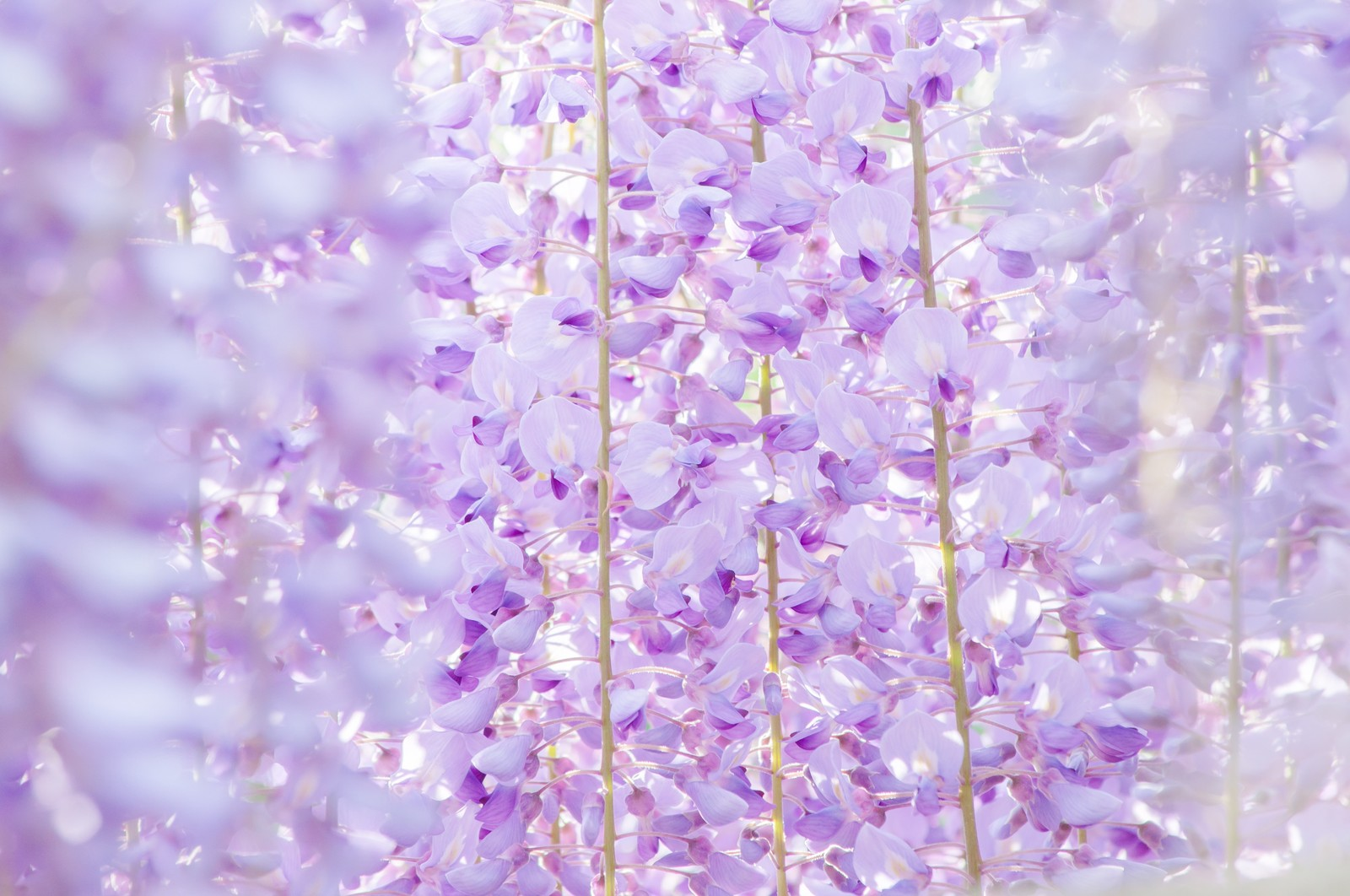 まるで花札のよう 美しい藤の花の高画質画像30選 写真まとめ