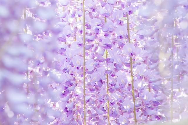 藤の花のテクスチャの写真