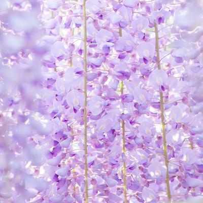 「藤の花のテクスチャ」の写真素材
