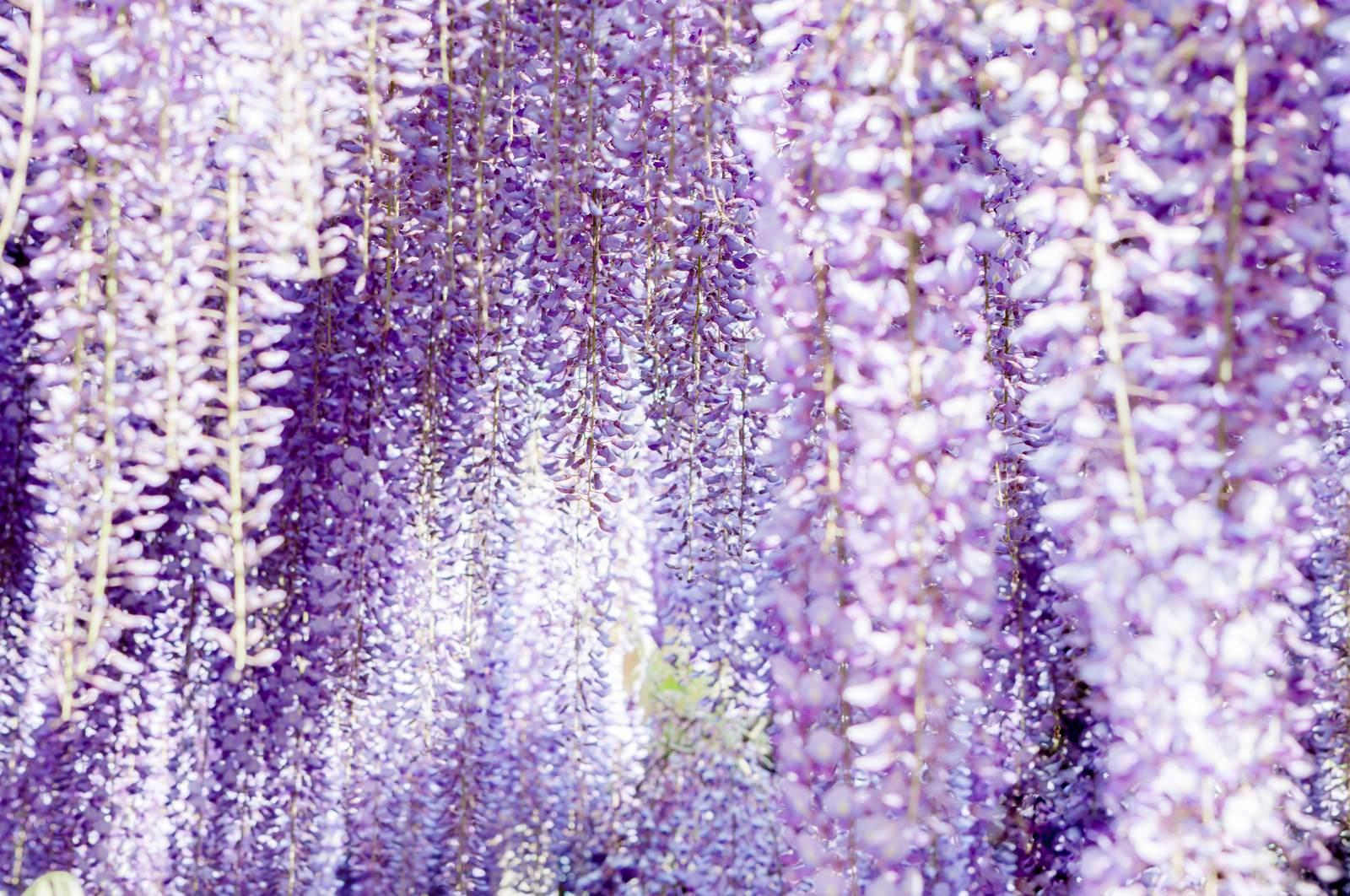 まるで花札のよう!美しい藤の花の高画質画像30選!