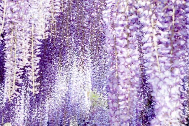 「満開に咲く藤の花」のフリー写真素材