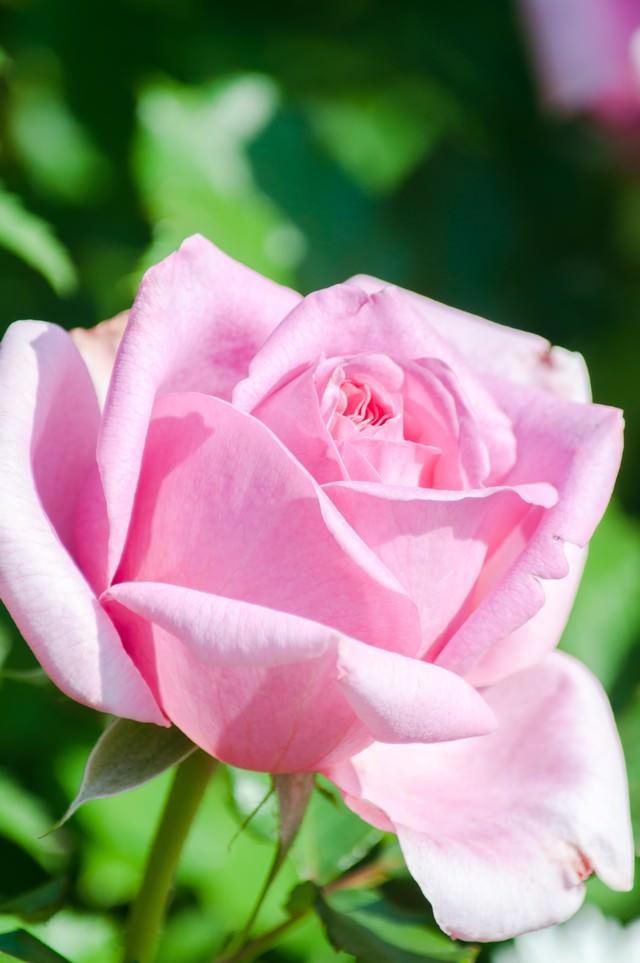 桃色のバラの写真