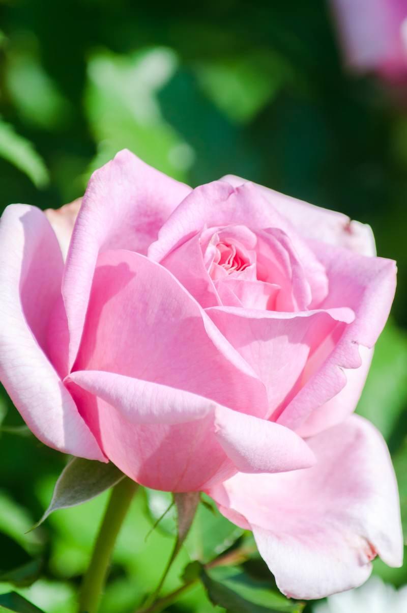 「桃色のバラ」の写真