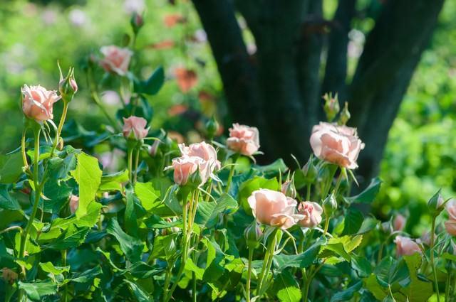 花ひらくとき(バラ)の写真