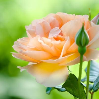 「オレンジ色のバラ」の写真素材