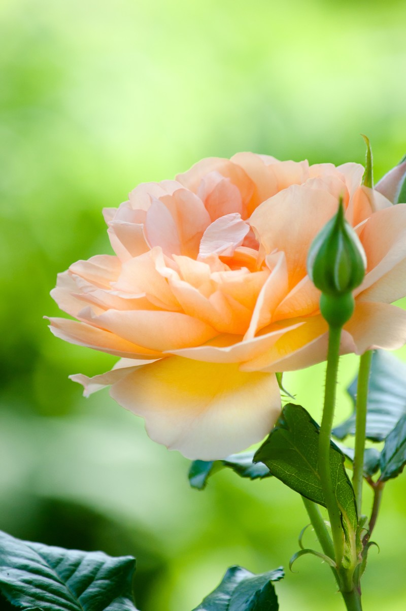 「オレンジ色のバラ | 写真の無料素材・フリー素材 - ぱくたそ」の写真