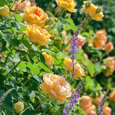 黄色のバラとリナリアの写真