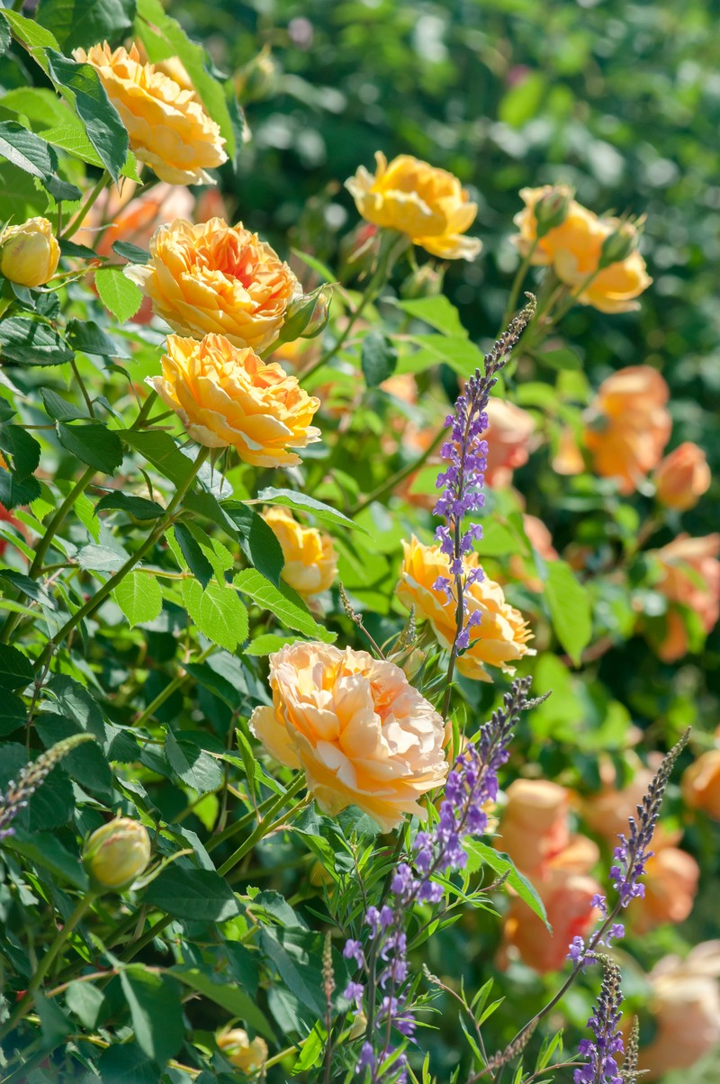 「黄色のバラとリナリア」の写真