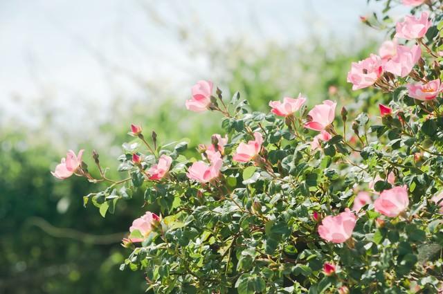 空に向かって咲くピンクのバラの写真