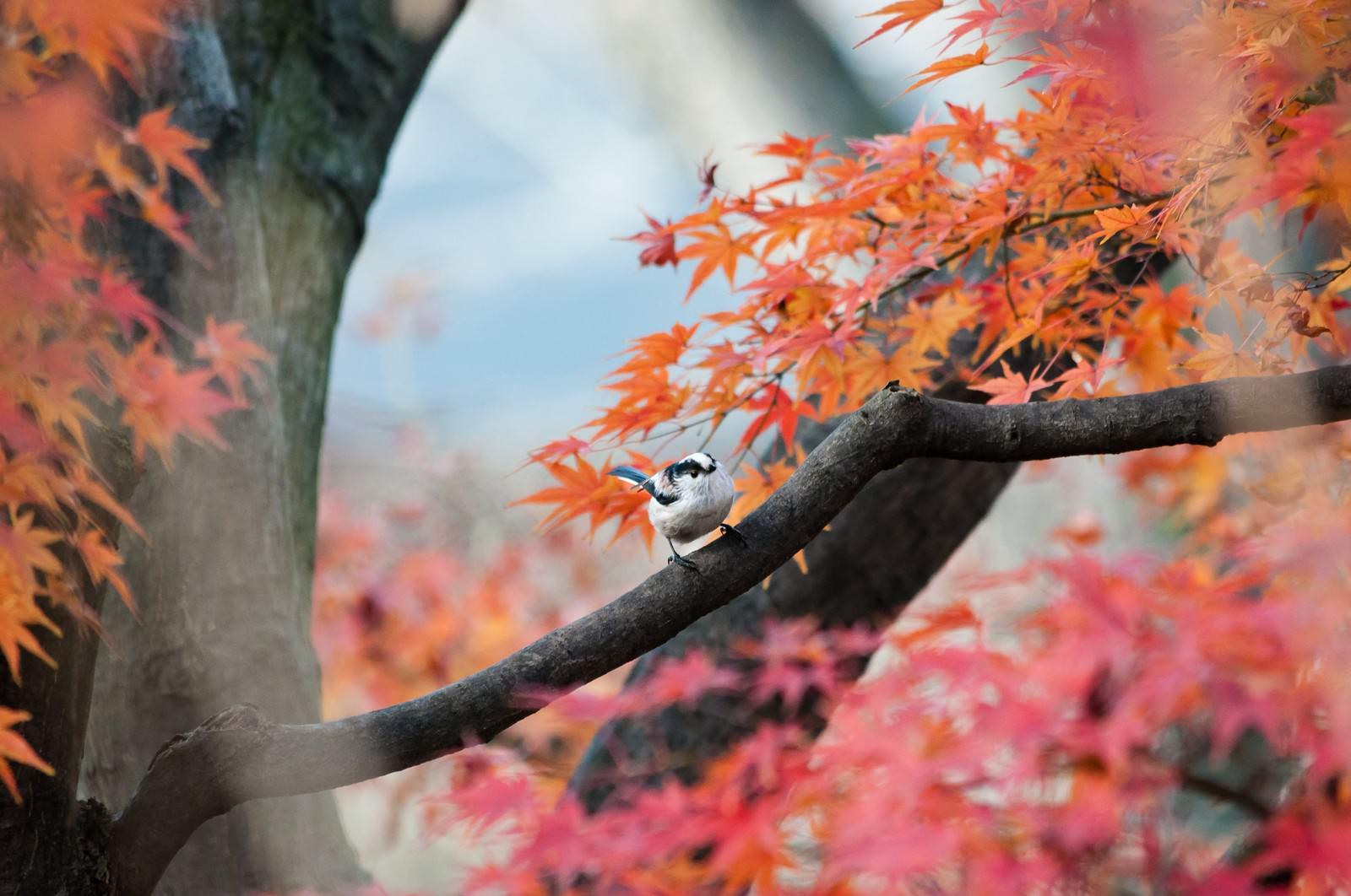「紅葉とエナガ」の写真