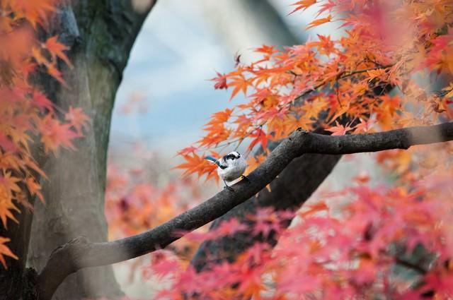 紅葉とエナガの写真
