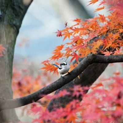「紅葉とエナガ」の写真素材