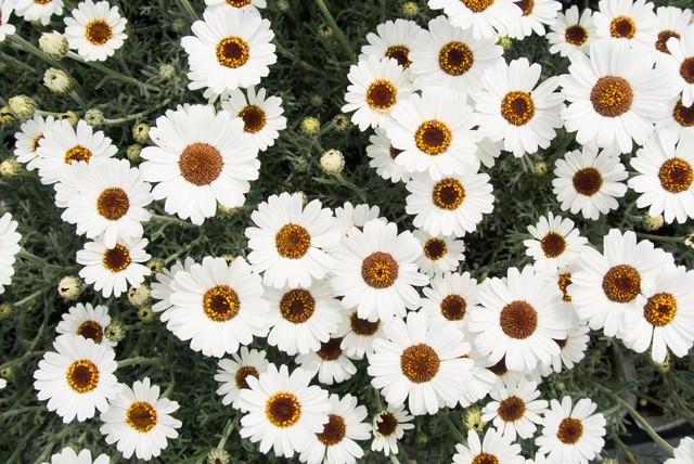 アフリカンアイズの花の写真
