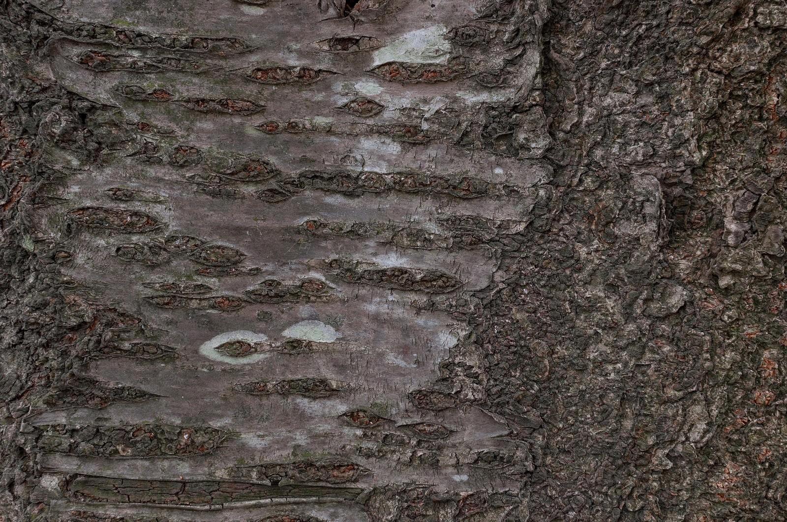 「樹皮(テクスチャー)」の写真