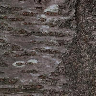 「樹皮(テクスチャー)」の写真素材