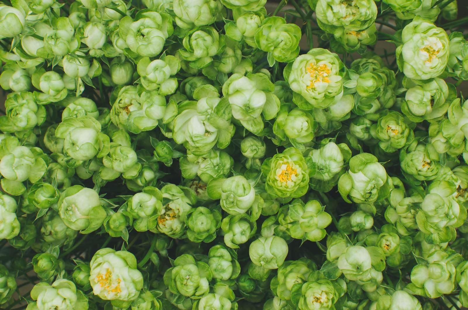 「緑の薔薇」の写真