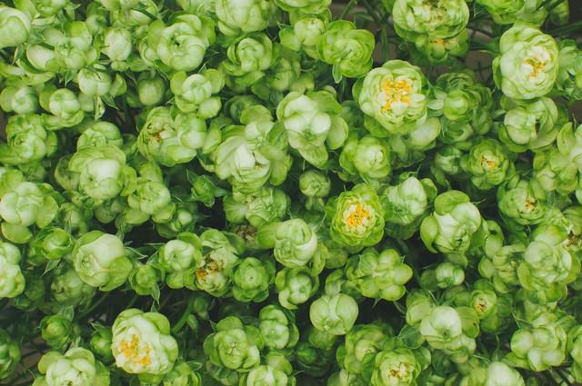 緑の薔薇の写真