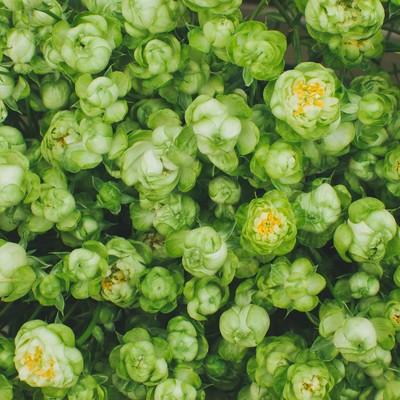 「緑の薔薇」の写真素材