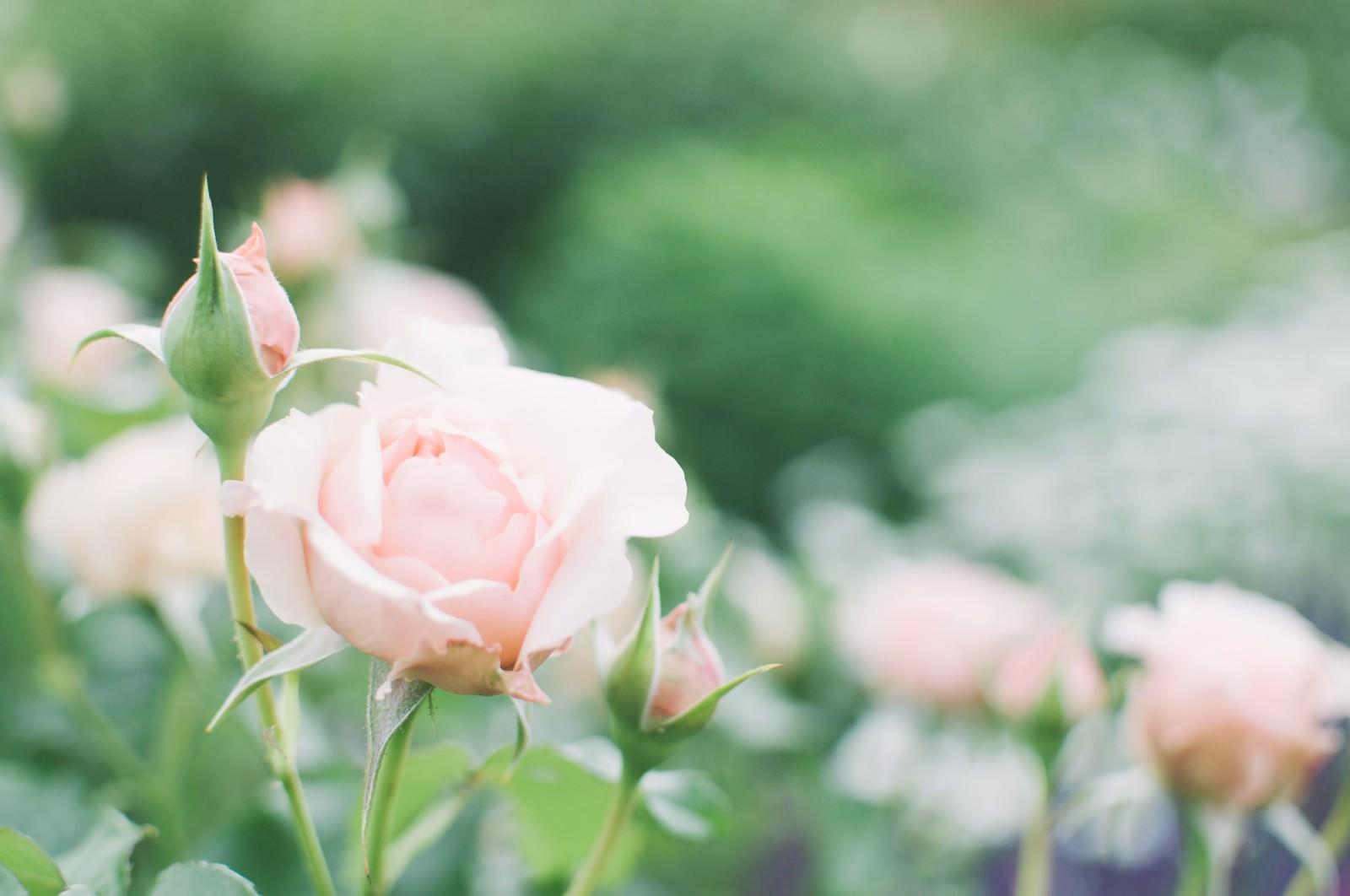 「薄桃色の薔薇」の写真