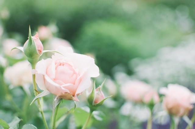 薄桃色の薔薇の写真