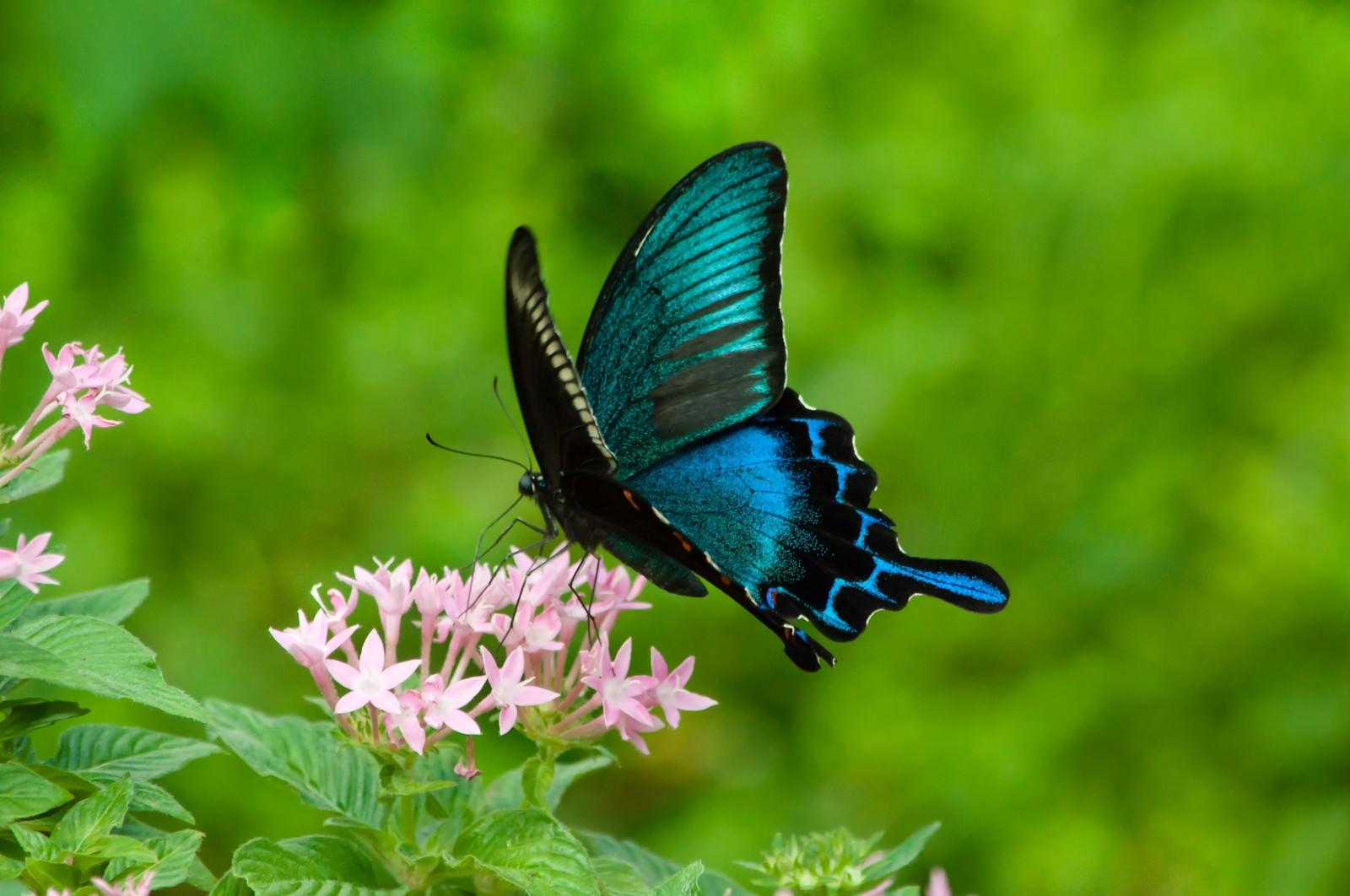 「カラスアゲハ(蝶) | 写真の無料素材・フリー素材 - ぱくたそ」の写真