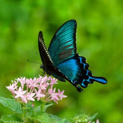 カラスアゲハ(蝶)の写真