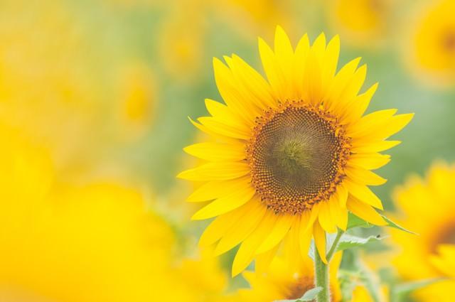 淡いひまわりの黄色の写真