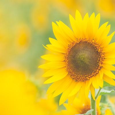 「淡いひまわりの黄色」の写真素材