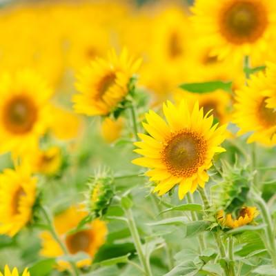 「向日葵畑」の写真素材