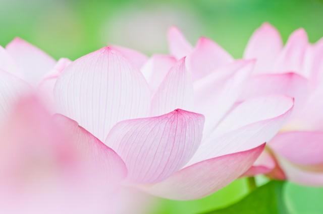 桃色の花弁の写真