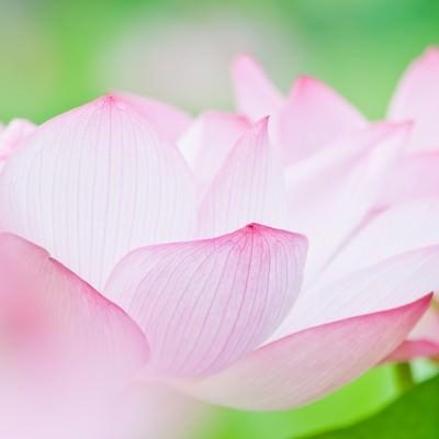 「桃色の花弁」の写真素材