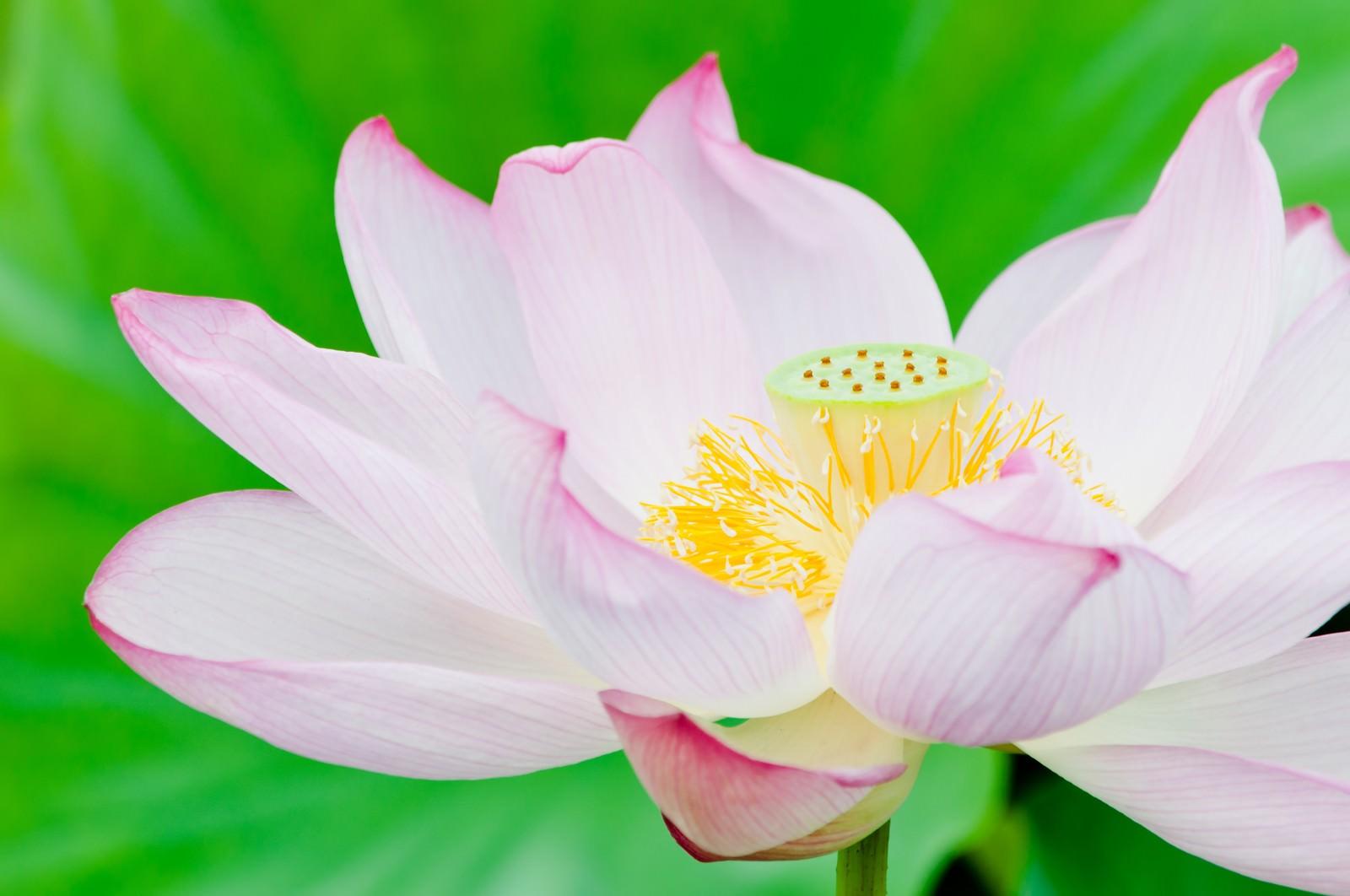 「ピンク色の蓮の花」の写真