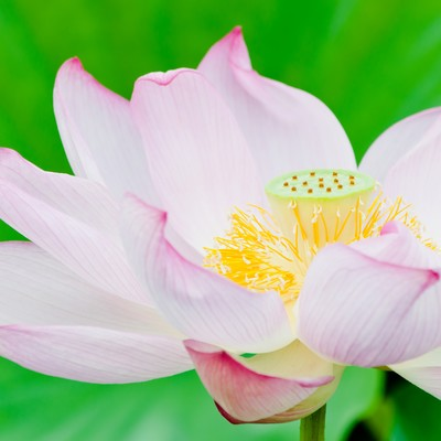 「ピンク色の蓮の花」の写真素材