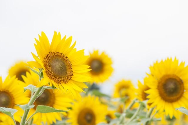 向日葵畑が満開の写真