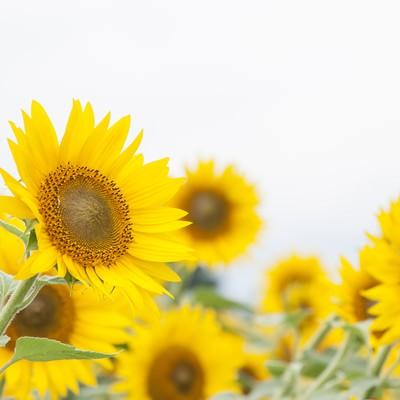 「向日葵畑が満開」の写真素材