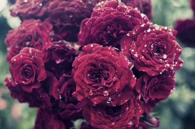 雨に濡れる紅い薔薇の写真