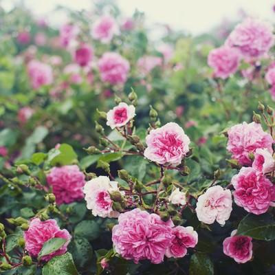 雨の日の情景(バラ)の写真