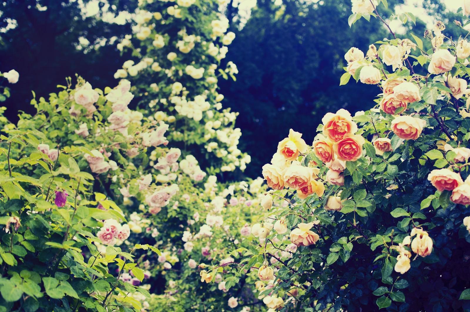 「秘密の花園(バラ)」の写真
