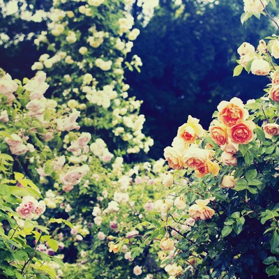 「秘密の花園(バラ)」の写真素材