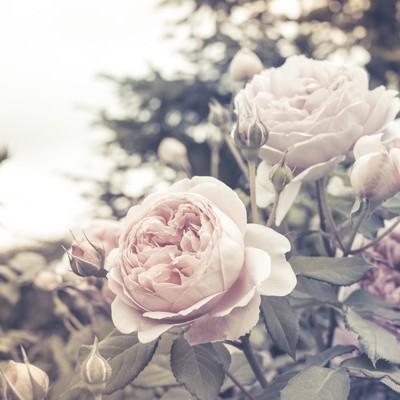 「ノスタルジック(バラ)」の写真素材